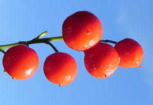 Maigloeckchen Fruechte rote Beeren Convallaria majalis 07