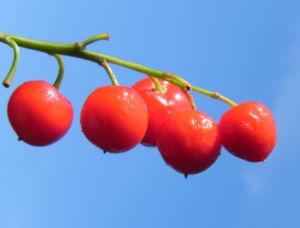 Maigloeckchen Fruechte rote Beeren Convallaria majalis 08