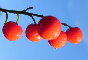 Maigloeckchen Fruechte rote Beeren Convallaria majalis 10