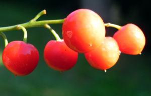 Maigloeckchen Fruechte rote Beeren Convallaria majalis 13