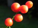 Bild: Maiglöckchen Frucht rot Beere Convallaria majalis