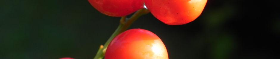 maigloeckchen-frucht-rot-beere-convallaria-majalis