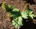 Zurück zum kompletten Bilderset Mammutblatt Blätter grün Gunnera manicata
