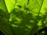 Mammutblatt Blatt gruen Gunnera manicata 04