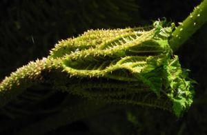Mammutblatt Blatt gruen Gunnera manicata 05