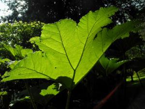 Mammutblatt Blatt gruen Gunnera manicata 08