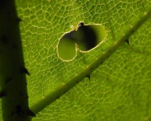Mammutblatt Blatt gruen Gunnera manicata 13