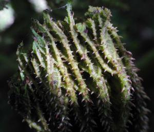 Mammutblatt Blatt gruen Gunnera manicata 18