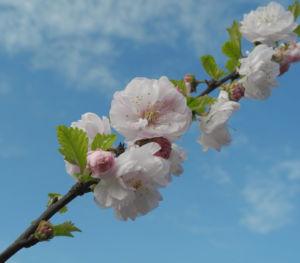 Mandelbaeumchen Bluete weiß rosa Prunus triloba 09
