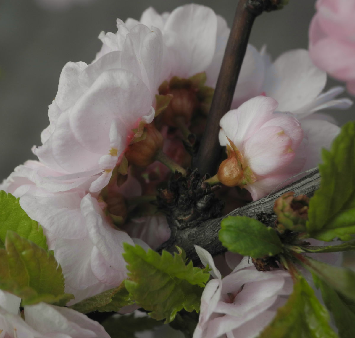Mandelbaeumchen Bluete weiß rosa Prunus triloba