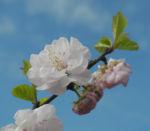 Mandelbaeumchen Bluete weiß rosa Prunus triloba 13