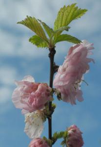 Mandelbaeumchen Bluete weiß rosa Prunus triloba 14