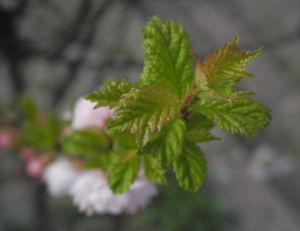 Mandelbaeumchen Bluete weiß rosa Prunus triloba 15