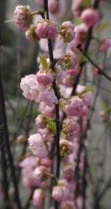 Mandelbaeumchen Bluete weiß rosa Prunus triloba 16