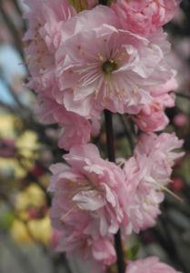 Mandelbaeumchen Bluete weiß rosa Prunus triloba 17