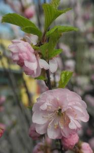 Mandelbaeumchen Bluete weiß rosa Prunus triloba 18