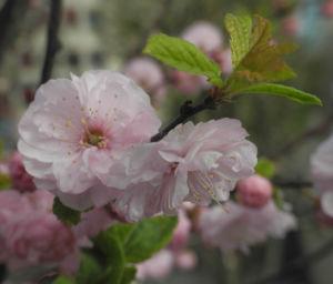 Mandelbaeumchen Bluete weiß rosa Prunus triloba 19