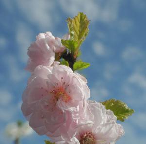 Bild: Mandelbaeumchen Bluete weiß rosa Prunus triloba