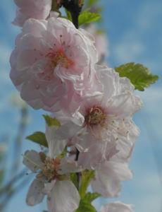 Mandelbaeumchen Bluete weiß rosa Prunus triloba 22