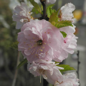 Mandelbaeumchen Bluete weiß rosa Prunus triloba 23