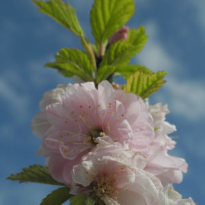 Mandelbaeumchen Bluete weiß rosa Prunus triloba 24