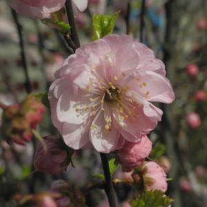 Mandelbaeumchen Bluete weiß rosa Prunus triloba 25