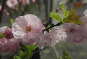 Mandelbaeumchen Bluete weiß rosa Prunus triloba 26