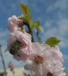 Mandelbaeumchen Bluete weiß rosa Prunus triloba 27