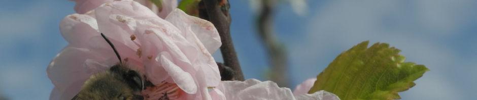 Anklicken um das ganze Bild zu sehen Mandelbäumchen Blüte weiß rosa Prunus triloba