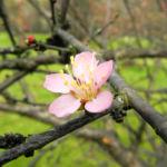 Mandelbauemchen Bluete rosa Prunus triloba 01