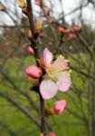 Mandelbauemchen Bluete rosa Prunus triloba 02