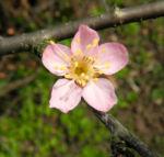 Mandelbauemchen Bluete rosa Prunus triloba 03