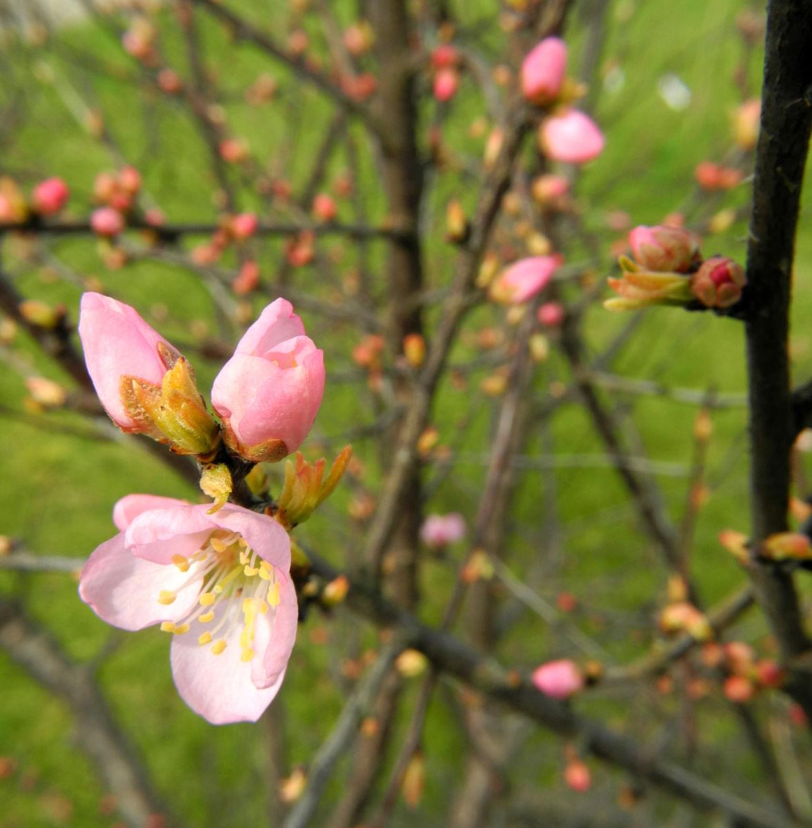 Mandelbauemchen Bluete rosa Prunus triloba