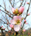 Bild:  Mandelbäumchen Blüte rosa Prunus triloba