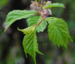 Mandelbaum Blatt gruen Prunus triloba 03
