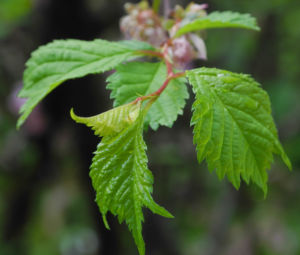 Image: Mandelbaum Blatt gruen Prunus triloba