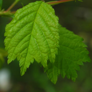Mandelbaum Blatt gruen Prunus triloba 04