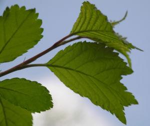 Mandelbaum Blatt gruen Prunus triloba 05