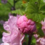 Mandelbaum Bluete rosa Prunus dulcis 02