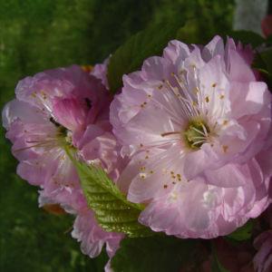 Bild: Mandelbaum Bluete rosa Prunus dulcis
