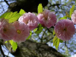 Mandelbaum Bluete rosa Prunus dulcis 04