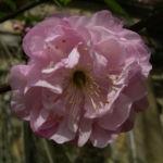 Mandelbaum Bluete rosa Prunus dulcis 05