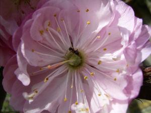 Mandelbaum Bluete rosa Prunus dulcis 06