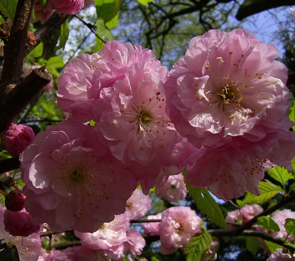 Mandelbaum Bluete rosa Prunus dulcis