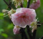 Mandelbaum Bluete rosa Prunus triloba 04