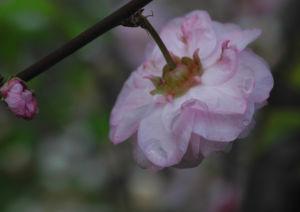 Mandelbaum Bluete rosa Prunus triloba 09