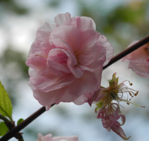 Mandelbaum Bluete rosa Prunus triloba 10