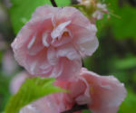 Mandelbaum Bluete rosa Prunus triloba 12