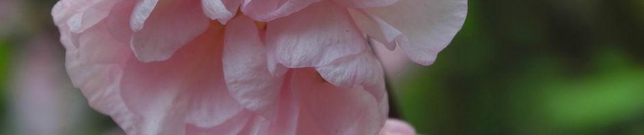 mandelbaeumchen-bluete-rosa-prunus-triloba