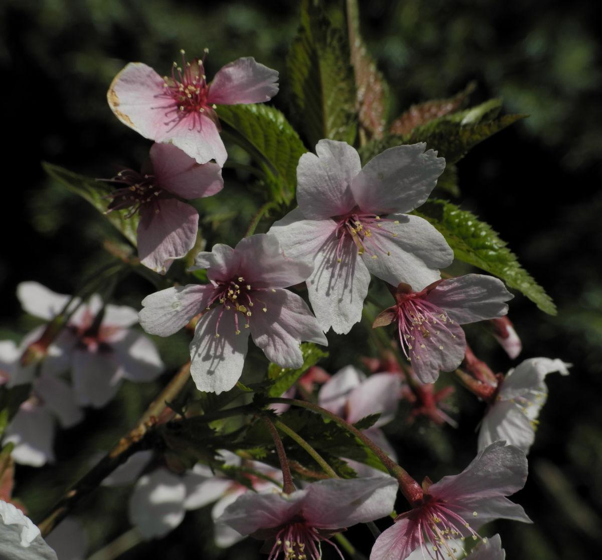 Mandelbaum Bluete weiß rot Prunus dulcis